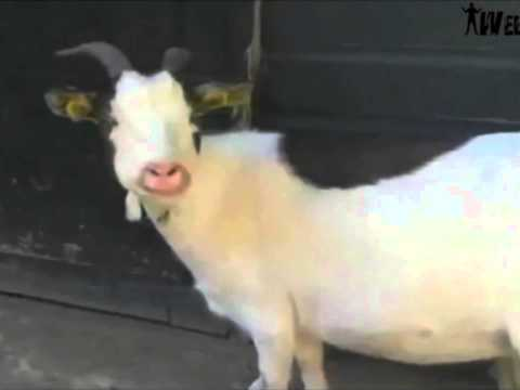 THE BEST GOAT VIDEO EVER – METALLICA EDITION