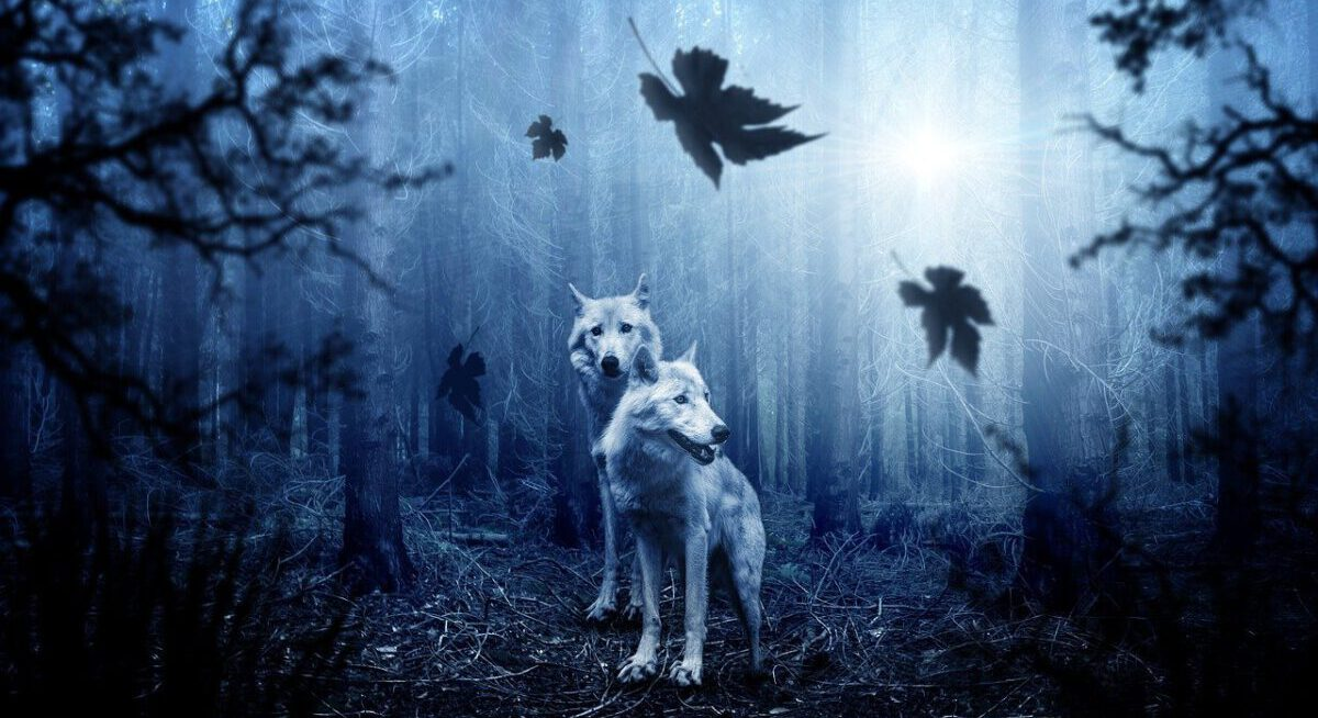 two white wolves in a forest